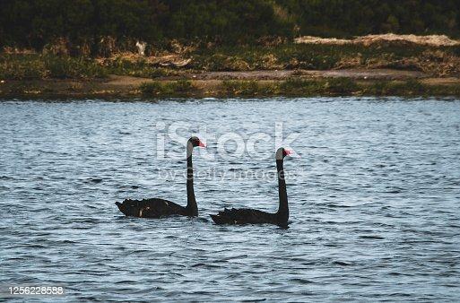 Black Swans are a common animal on the Tasmania Island, Australia.