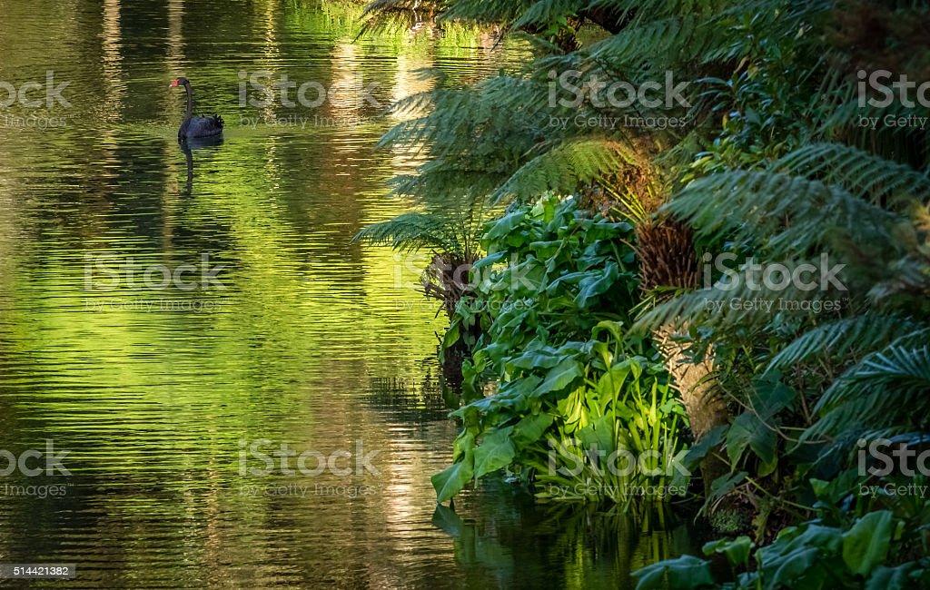 Black swan stock photo