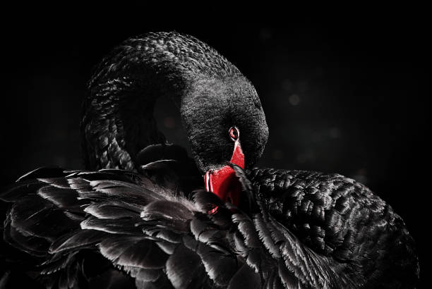 26349e645d154 Top 60 Black Swan Stock Photos, Pictures, and Images - iStock