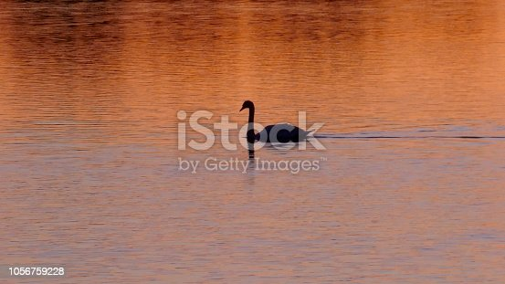 A black swan on a lake in Schleswig-Holstein, Germany