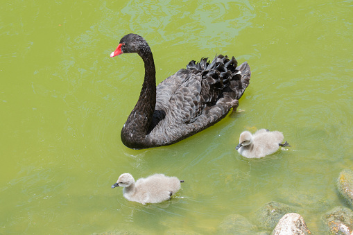 A black swan swims with two chicks.