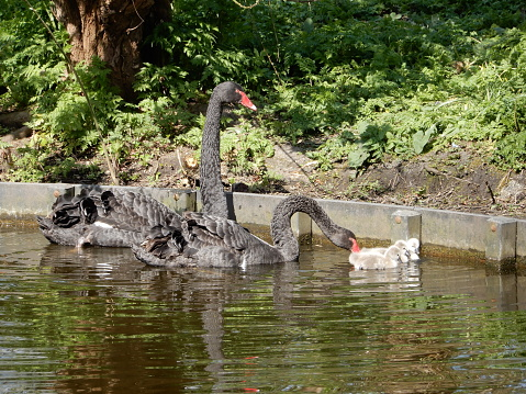 Black swans with young