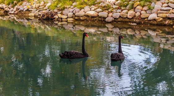 Black swans floating in a pond