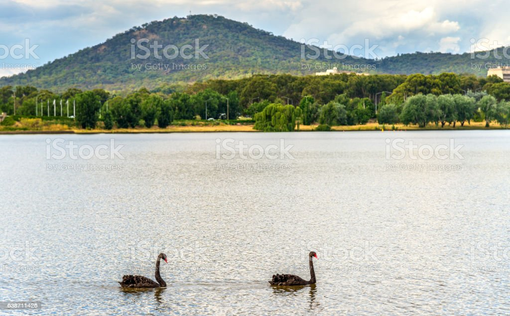 Black swans on Lake Burley Griffin in Canberra, the capital stock photo