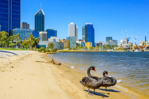 Best Swan Stock Photos, Pictures & Royalty-Free Images - iStock