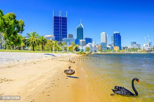 istock Black Swans Perth Bay 910615268
