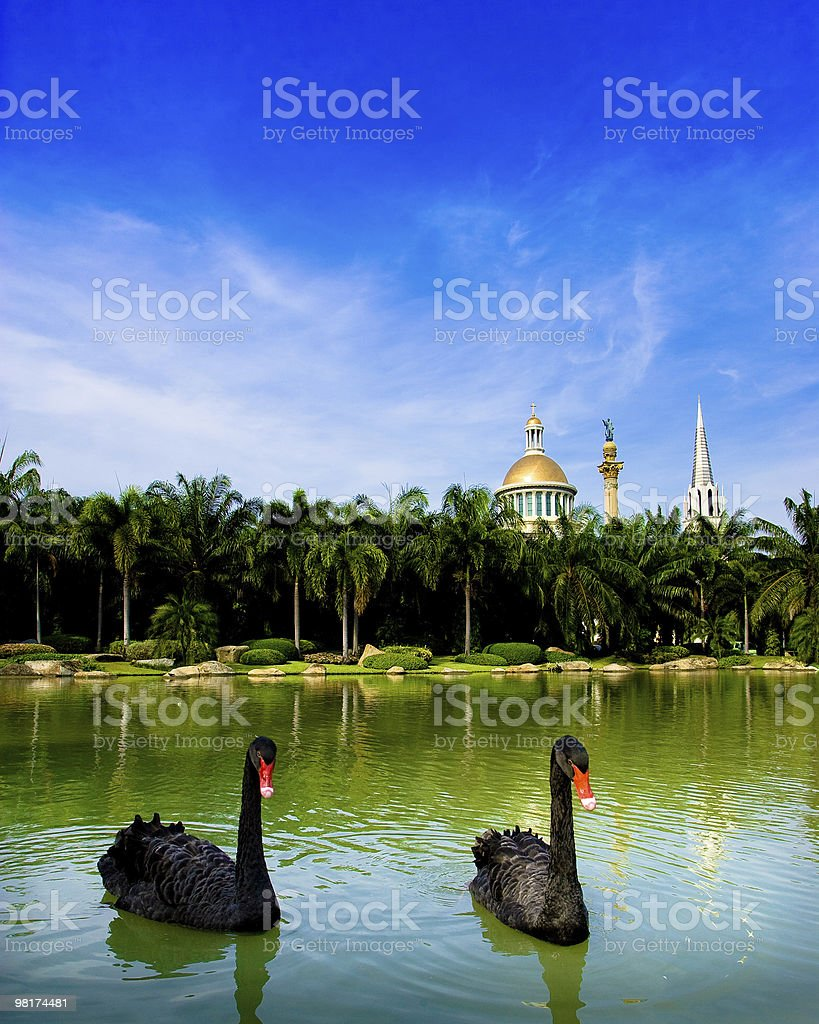 Black Swans royalty-free stock photo