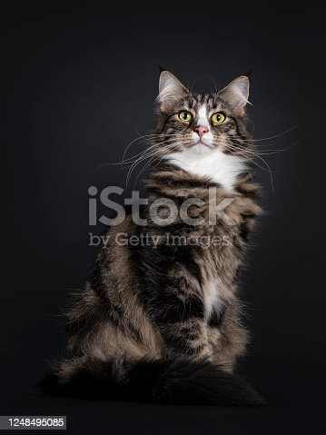 Majestic young adult black tabby blotched Norwegian Forestcat, sitting side ways. Looking proud towards camera with yellow / green eyes. Isolated on a black background.