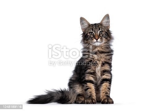 Cute young black tabby blotched Norwegian Forestcat kitten, sitting facing front. Looking with green / brown eyes towards camera. Isolated on white background.