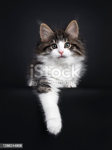 Expressive black tabby blotched with white Norwegian Forestcat kitten, laying down facing front. Looking curious to camera with greenisch eyes. Isolated on a black background. One paw hanging relaxed from edge.