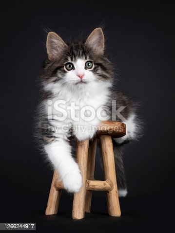 Expressive black tabby blotched with white Norwegian Forestcat kitten, laying on little wooden stool. Looking curious to camera with greenisch eyes. Isolated on a black background. One paw hanging relaxed from edge.