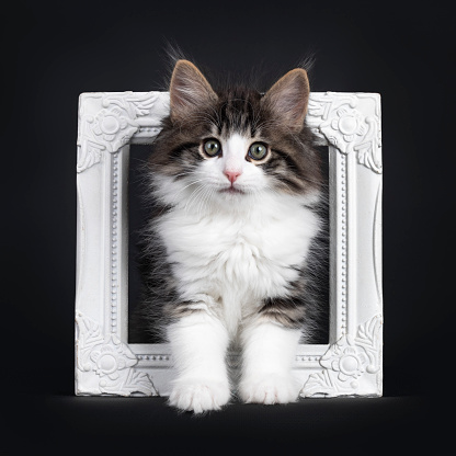Expressive black tabby blotched with white Norwegian Forestcat kitten, standing through photo frame. Looking curious to camera with greenisch eyes. Isolated on a black background.