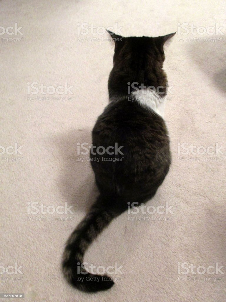 Black Tabby Cat with White Trim, Sitting on Beige Carpet stock photo