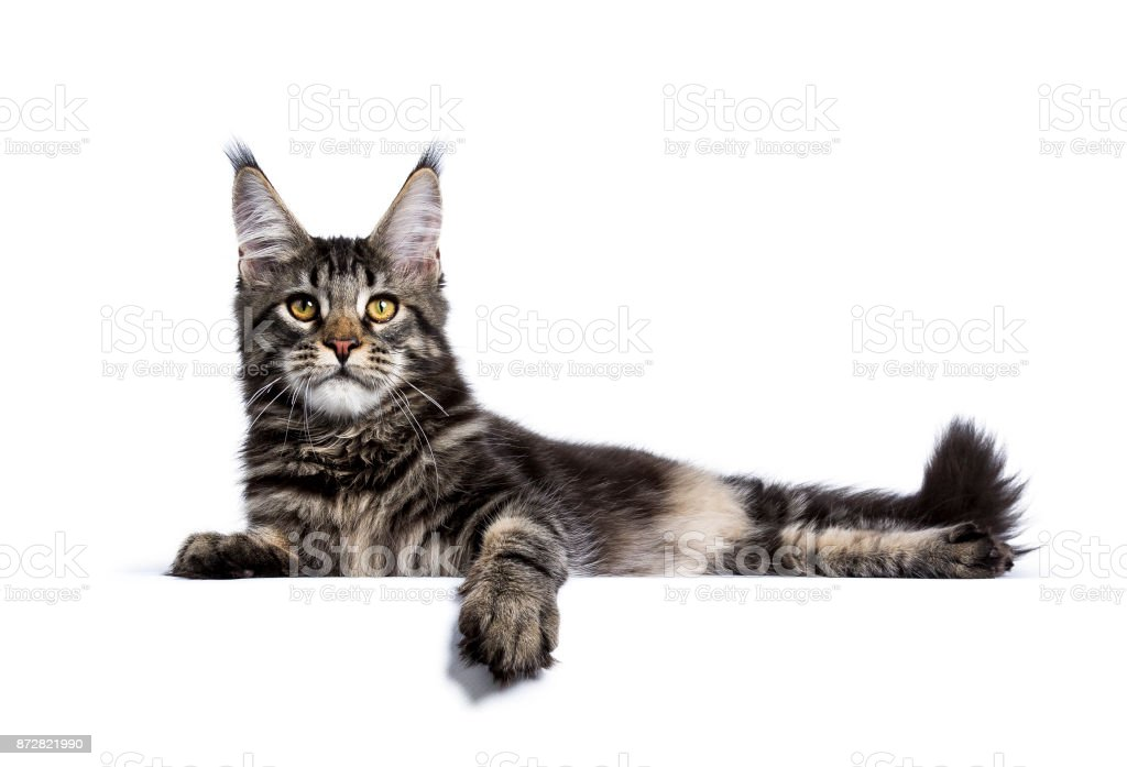 Black tabby maine coon cat kitten laying  isolated on white background stock photo