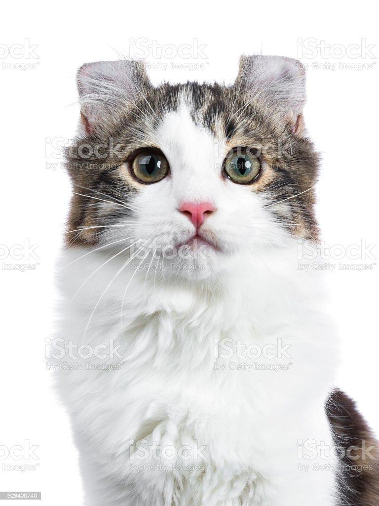 Zwart tabby met witte American Curl kat / kitten foto