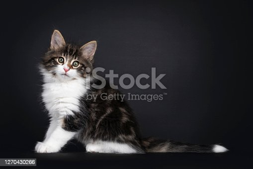 Cute black tabby blotched with white Norwegian Forestcat kitten, sitting side ways. Front paws in air like teddy bear. Looking at camera with green eyes. Isolated on black background.