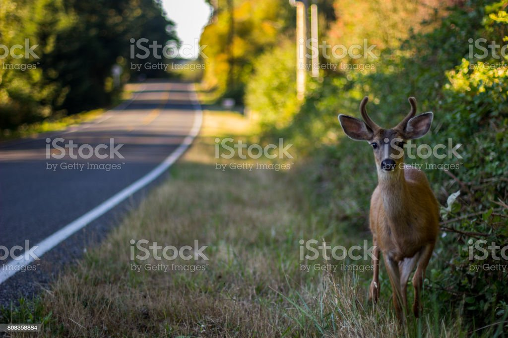 Black Tail Deer Next To R]raod stock photo