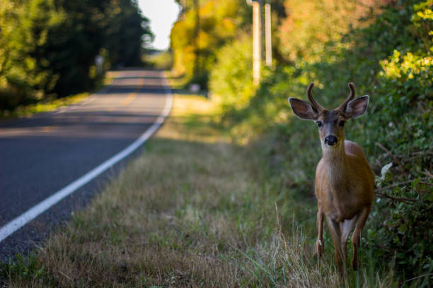 Black Tail Deer Next To R]raod stock photo