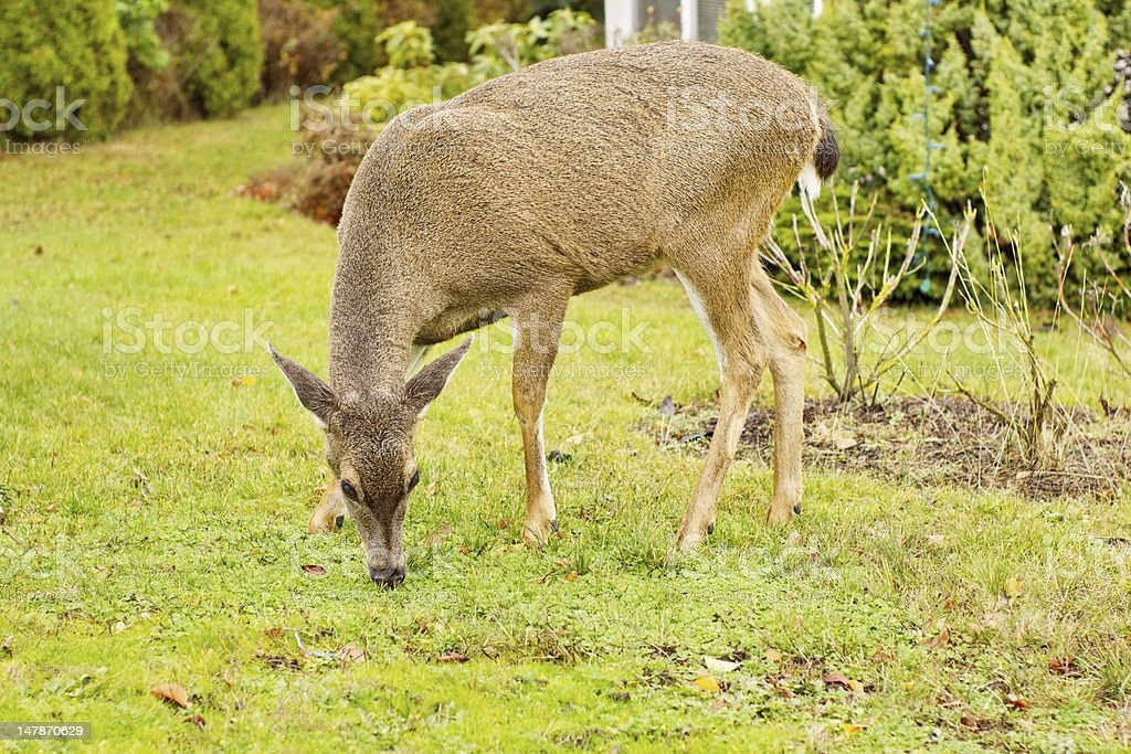 Black Tailed Deer stock photo