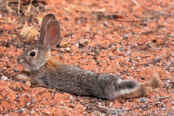 Black Tailed Desert Jack Rabbit stock photo