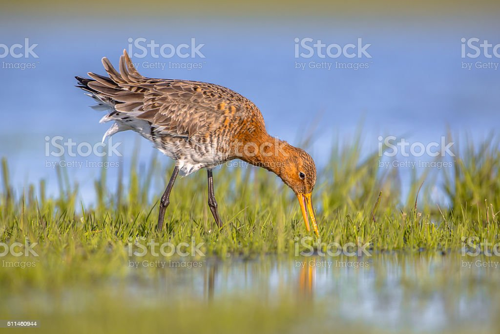Black tailed Godwit foraging in wetland stock photo