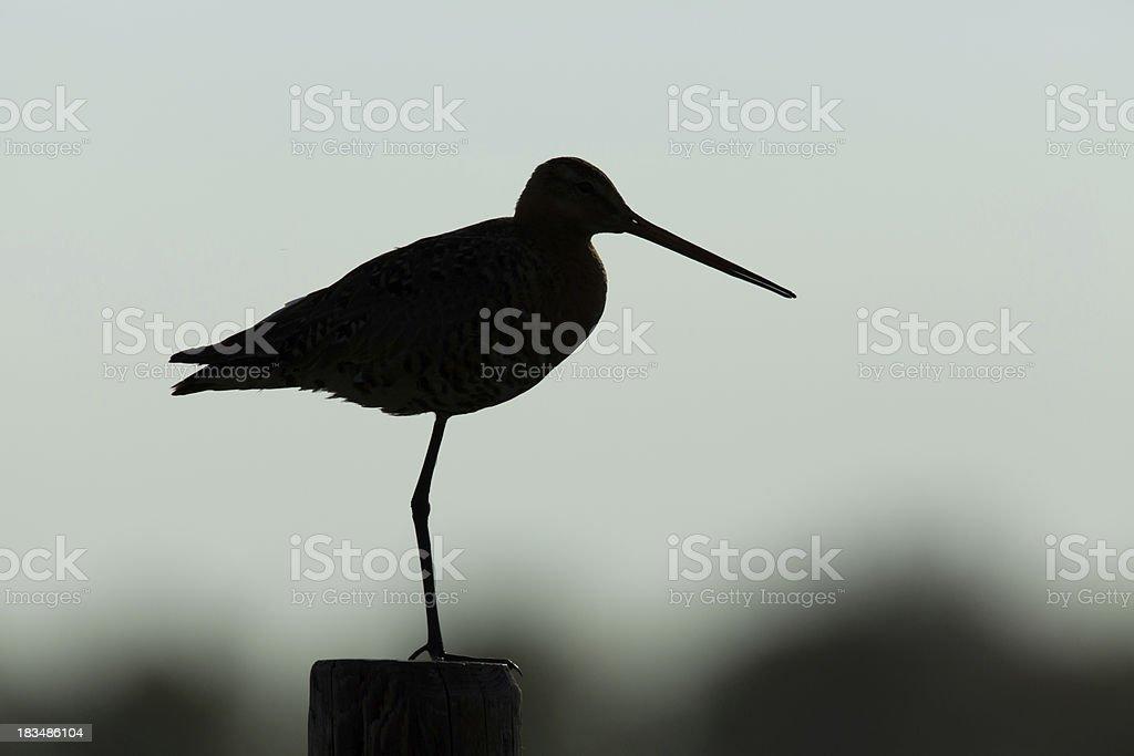 Black tailed godwit stock photo