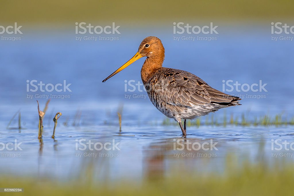 Black tailed Godwit standing in shallow water stock photo
