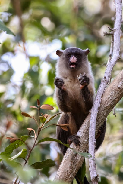 Black tailed marmoset feeding in a tree Pantanal, Brazil marmoset stock pictures, royalty-free photos & images