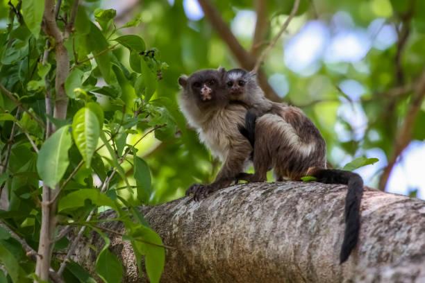 Schwarz angebundene Marmoset mit b Baby auf dem Rücken, mit Blick in den Wald – Foto