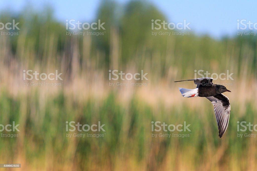 Black tern flying over the marsh stock photo