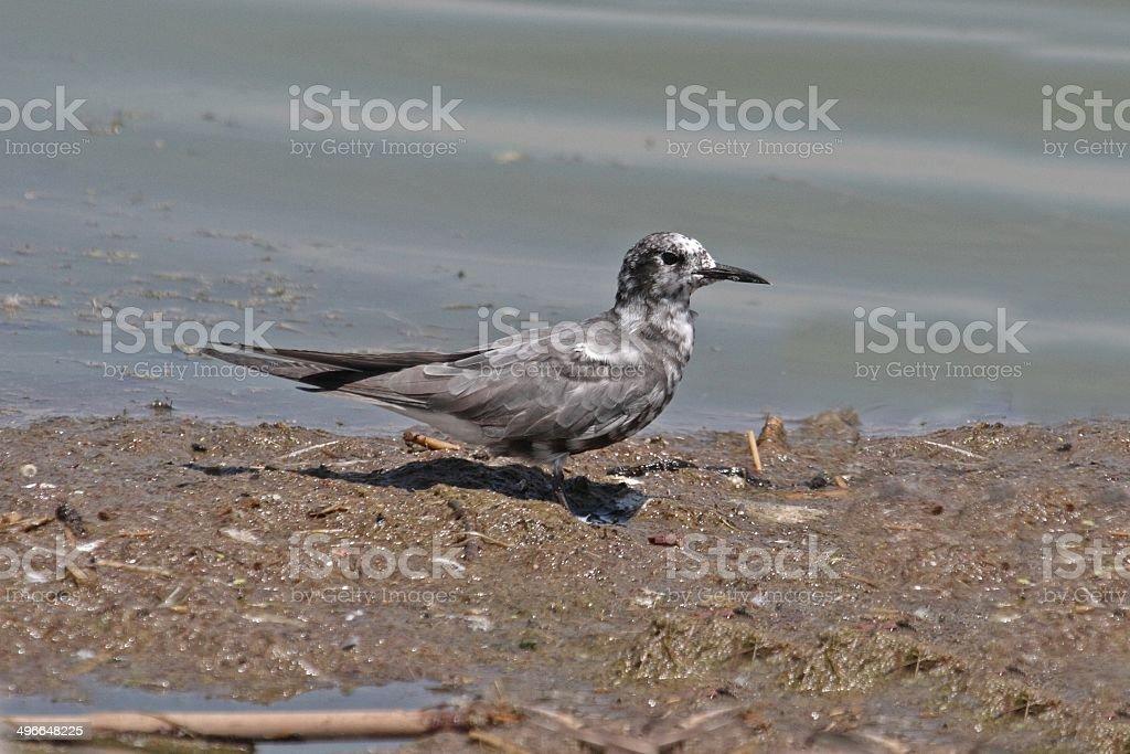 Black Tern (Chlidonias niger) stock photo