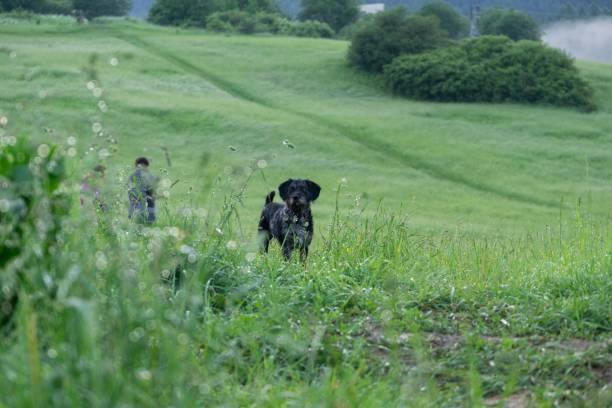 svart terrier hund på en promenad på den gröna ängen. - manchesterterrier bildbanksfoton och bilder
