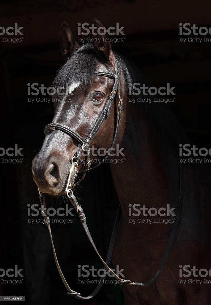 Black thoroughbred stallion in dark background stock photo