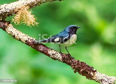 istock Black Throated Blue Warbler 1252475015