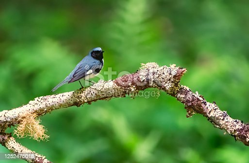 istock Black Throated Blue Warbler 1252475018