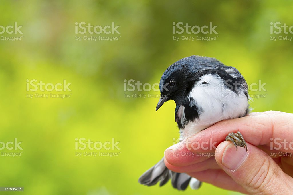 Black Throated Blue Warbler stock photo