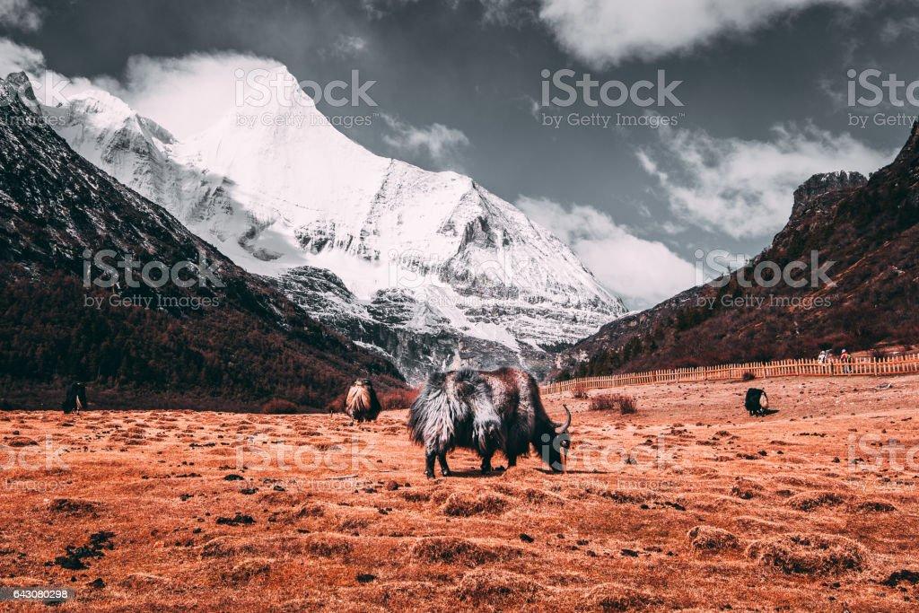 Schwarzen tibetische Yaks auf einer Weide am Schneeberge mit dunklen Wolken Hintergrund im Feld – Foto