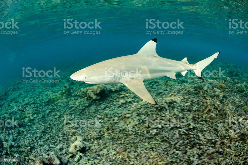 black tip reef shark stock photo