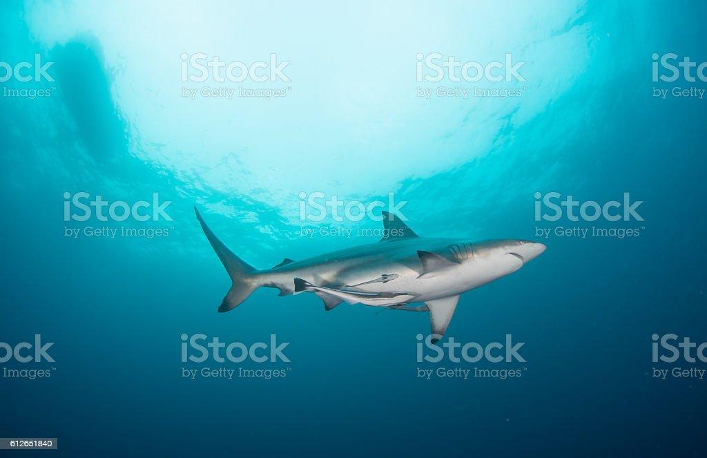 Black tip shark with a sun burst stock photo
