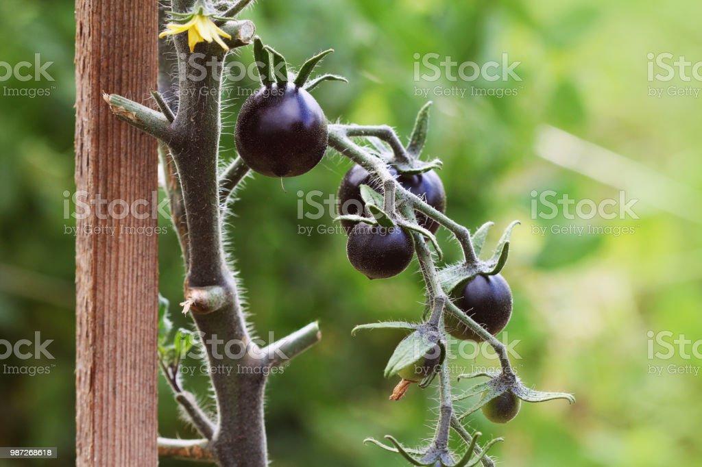 Black tomatoes on a branch in the garden. Indigo rose tomato stock photo