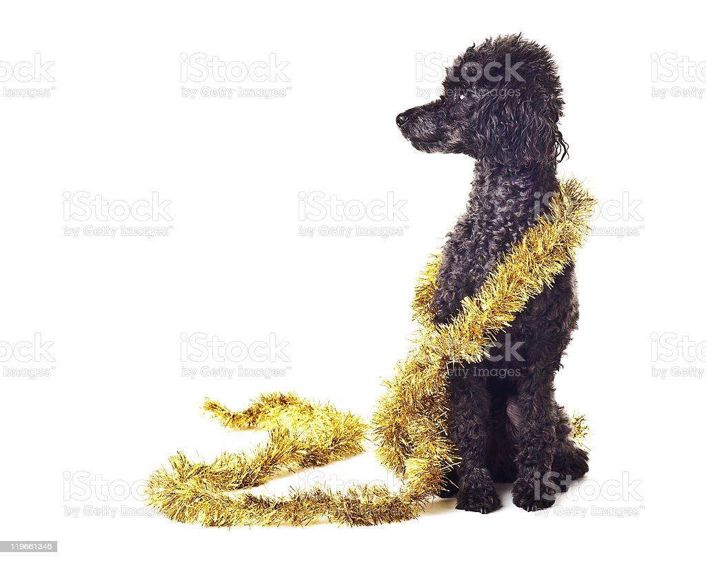 Black toy poodle with gold tinsel garland isolated on white stock