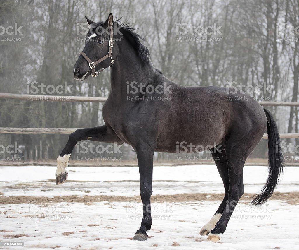 Black trakehner stallion stock photo