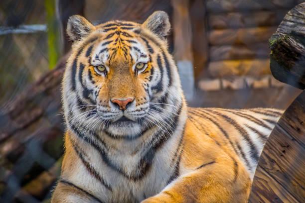 A black transverse stripes Siberian Tiger in Jacksonville, Florida stock photo