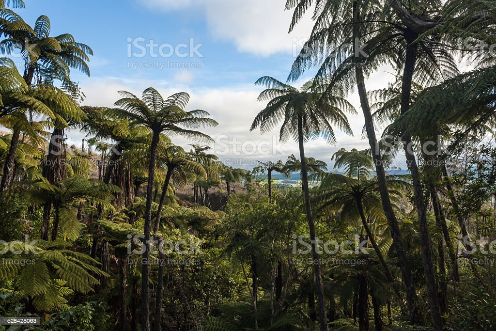 black tree ferns forest in New Zealand stock photo
