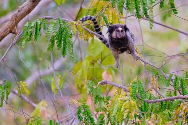 Black Tufted Marmoset, Callithrix Penicillata, sitting on a branch in the trees at Poco Encantado, Chapada Diamantina, Bahia, Brazil stock photo