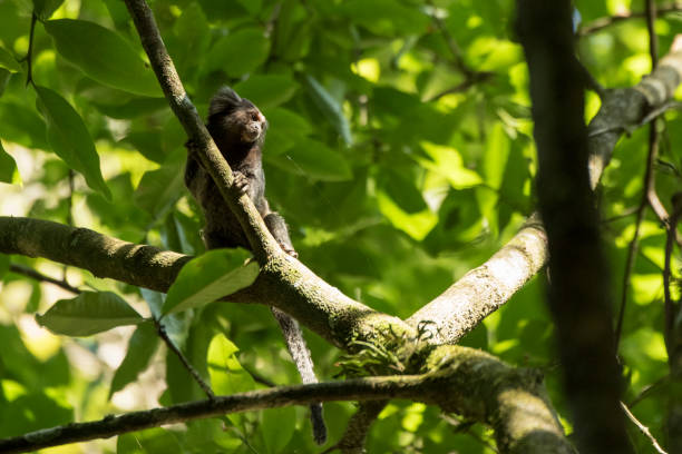 Black tufted-ear marmoset Names: Black tufted-ear marmoset, black-pencilled marmoset marmoset stock pictures, royalty-free photos & images