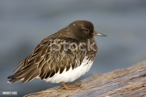 Black Turnstone, shorebird