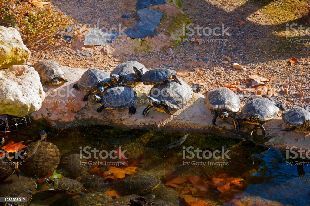 Black turtles having sun in the waterside of small pond
