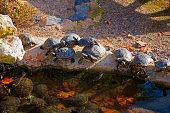 Black turtles having sun in the waterside of small pond