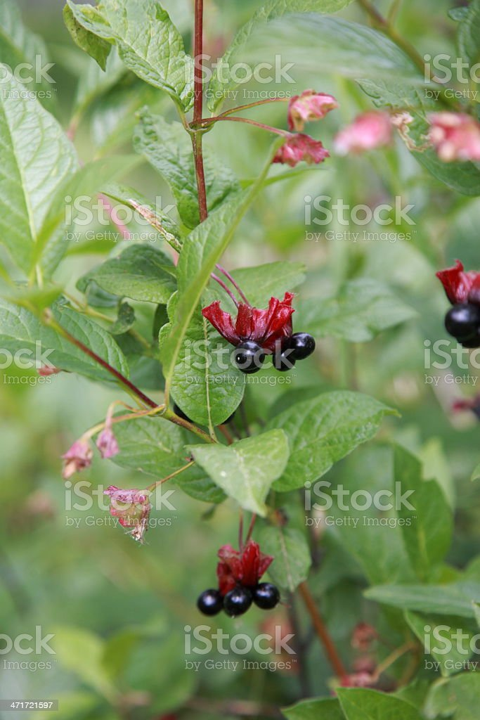 Black Twinberry Honeysuckle berries on a branch. stock photo